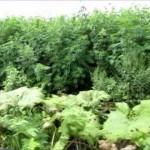 アヘンやヘロインの原料となる不正ケシ1105株、富山県内6市2町で違法と知らず栽培「ソムニフェルム種」「セティゲルム種」「ブラクテアツム種」